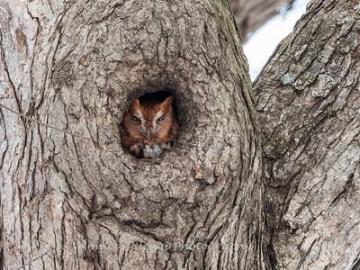 Screech Owl 17 Nov 2018-5785