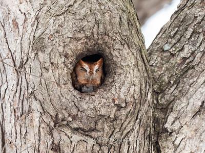 Screech Owl 17 Nov 2018-5709