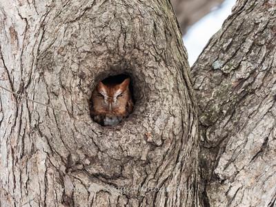 Screech Owl 17 Nov 2018-5726