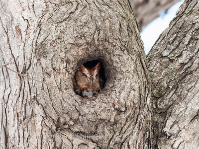 Screech Owl 17 Nov 2018-5740