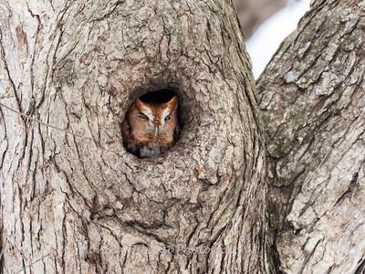Screech Owl 17 Nov 2018-5710