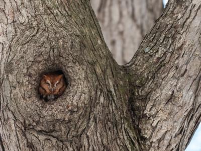 Screech Owl 17 Nov 2018-5674