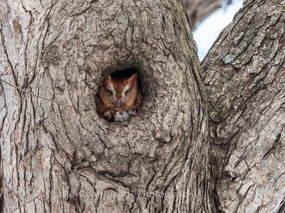 Screech Owl 17 Nov 2018-5777