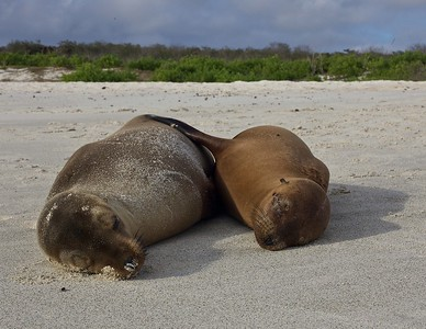 A Sea Lion Pup sleeps with Mother in the Gardner Bay on Espanola Island in the Galapagos Islands.