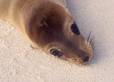 The big eyes of a Sea Lion Pup near the Gardner Bay on Espanola Island in the Galapagos Islands.