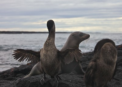 "A Sea Lion comes ashore in the middle of a group of flightless cormorants drying their ""wings"" at Urbina Bay on Fernandina Island in the Galpagos Islands."