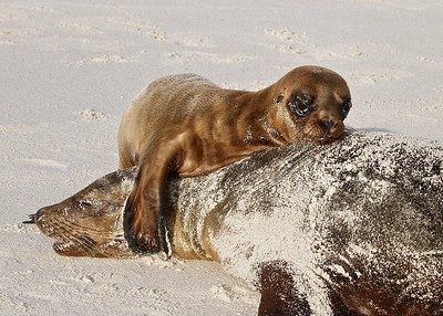 A Sea Lion Pup tries to wake Mom in Gardner Bay on Espanola Island in the Galapagos Islands.