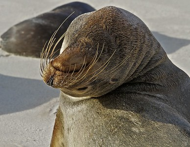 A Sea Lion stretches on Espanola Island in the Galapagos Islands.
