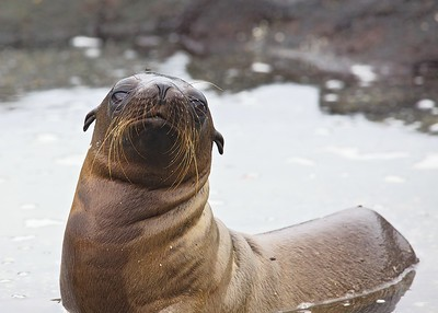 A Sea Lion Pup  Urbina Bay on Fernandina Island  in the Galapagos Islands.