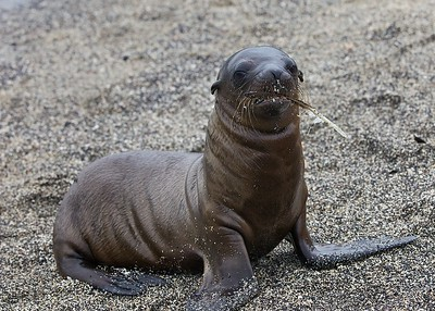 A Sea Lion Pup plays with a feather along the Urbina Bay on Fernandina Island in the Galapagos Islands.