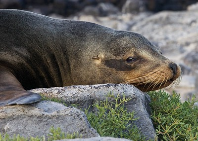 A Sea Lion watches as we approach on South Plaza Island in the Galapagos Islands.