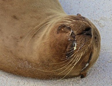 A Sea Lion sleeps in the Gardner Bay on Espanola Island in the Galapagos Islands.