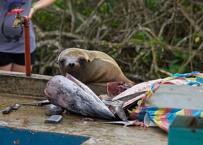 A Sea Lion waits for a hand-out at the fish market on Santa Cruz Island in the Galapagos Islands.