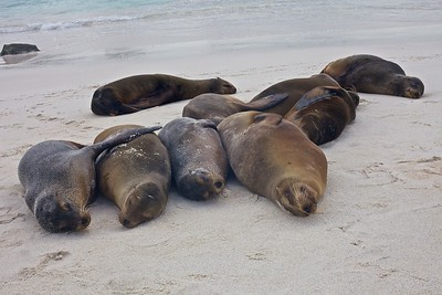 A group of Sea Lions sleep on the beach of Gardner Bay on Espanola Island in the Galapagos Islands.