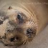 Sea Lion - Galapagos