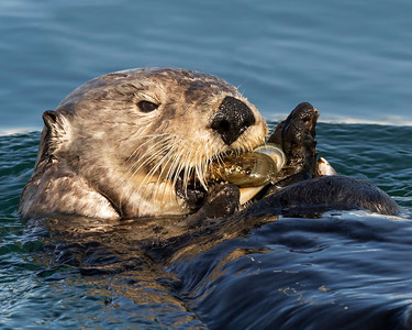 Sea otter making a quick meal of these mussels.