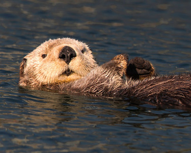 Sea otter,  drying out for the evening.