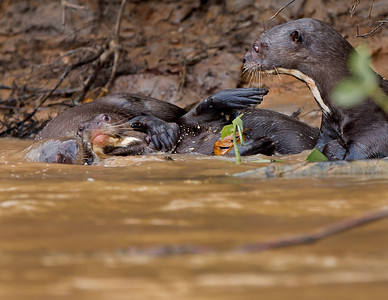 Giant River otters playing by their nest,  picture captured in Pantanal, Brazil.