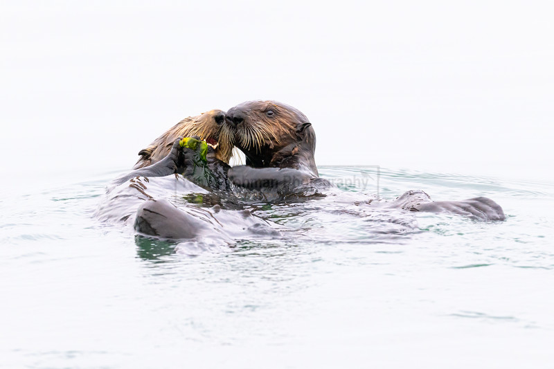 Southern Sea Otter Mom with Pup