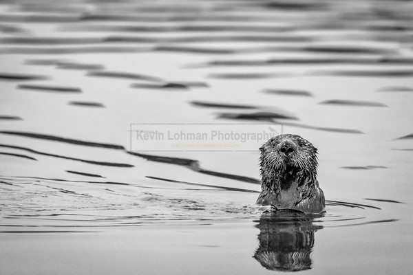 Northern Sea Otter Periscoping