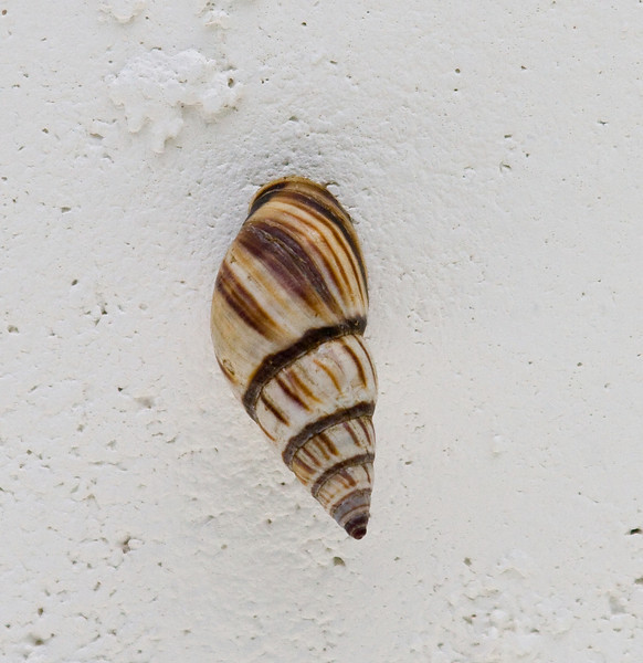 florida tree snail