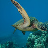 Green Sea Turtle over wreckage of old Mala pier