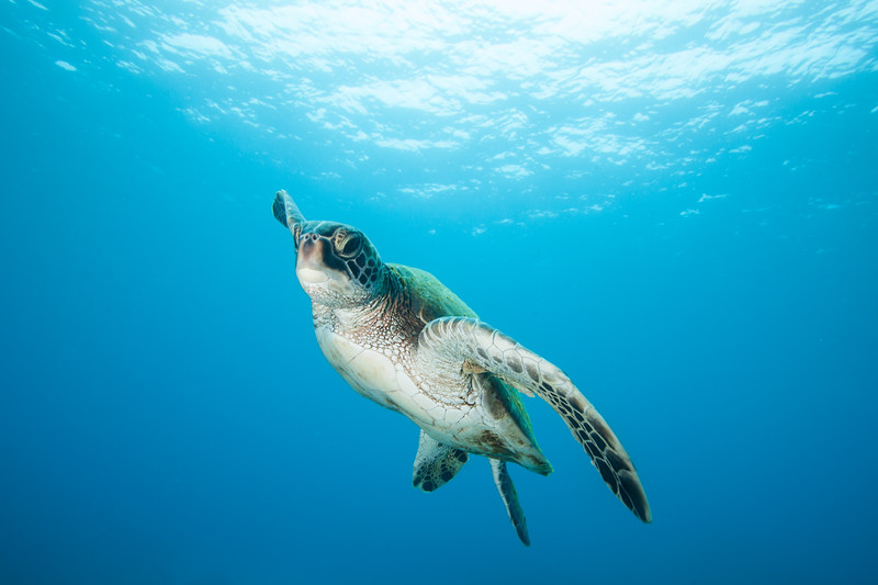 Curious Juvenile Green Sea Turtle