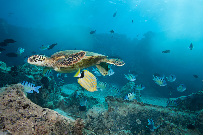 Green Sea Turtle surrounded by fish