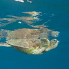 Reflection of a Hawaiian Green Sea Turtle