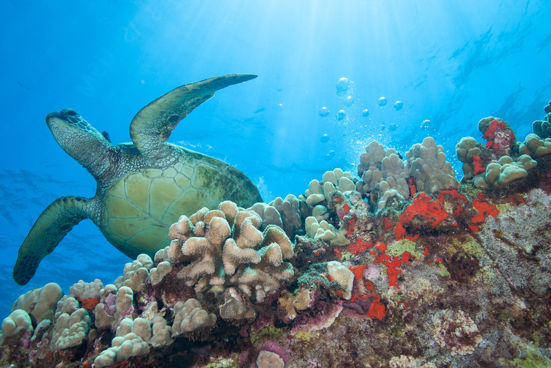 Sea Turtle over the colorful reef