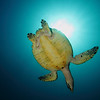 Hawksbill Sea Turtle from below