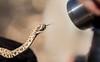 Rattleless Rattle Snake - Isla Santa Catalina - Gulf of California (AKA Sea of Cortez)