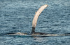 Humpback Whale - Gorda Banks - Sea of Cortez (AKA Gulf of California)