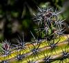 Galloping Cactus -Isla Santa Catalina - Gulf of California (AKA Sea of Cortez)