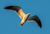 Yellow-footed Gull - Gulf of California (AKA Sea of Cortez) - Los Islotes