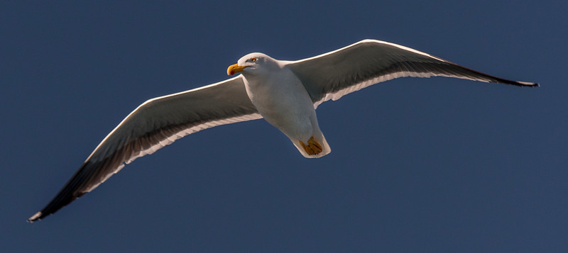 Yellow-footed Gull - Gulf of California (AKA Sea of Cortez) - Isla del Carmen
