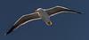 Yellow-footed Gull - Gulf of California (AKA Sea of Cortez) - Isla del Carmen