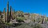 Isla Santa Catalina - Gulf of California (AKA Sea of Cortez) - Cardon, Elephant Cactus