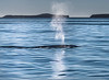 Blue Whale - Gulf of California (AKA Sea of Cortez) - Blue Whale