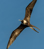 Magnificent Frigate Bird (Adult Female) - Los Islotes