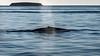 Blue Whale - Gulf of California (AKA Sea of Cortez) - Blue Whale