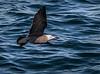 Heermann's Gull - Gulf of California (AKA Sea of Cortez) - Isla del Carmen
