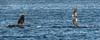 Humpback Whale - Gorda Banks - Sea of Cortez (AKA Gulf of California)