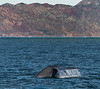 Blue Whale - Gulf of California (AKA Sea of Cortez) - Isla del Carmen