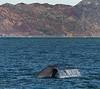 Blue Whale - Gulf of California (AKA Sea of Cortez) - Isla del Carmen