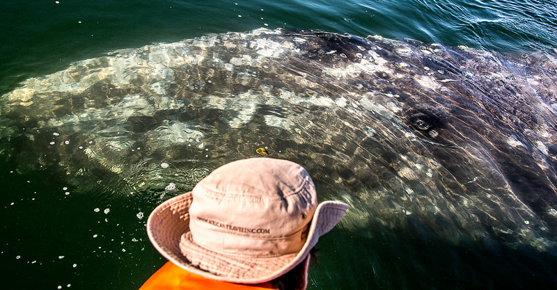 Los Titeres and the Gray Whales with Calves - The Eye of the Whale