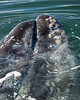 Los Titeres and the Gray Whales with Calves