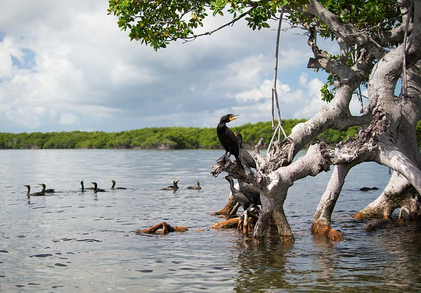 Cormorants and Mangroves