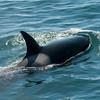 Orca I