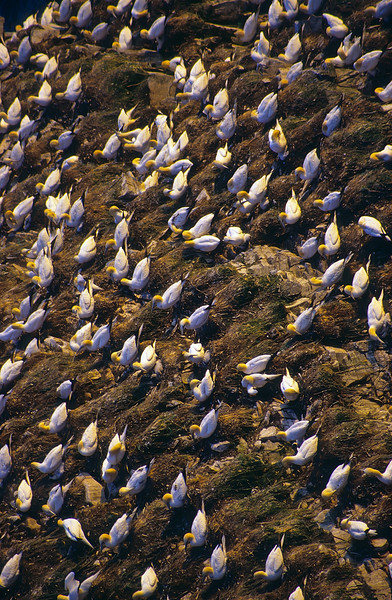 This is a very odd community, but it seems to work.  The gannets have built small mounds upon which they will lay one egg.  Gannets will mature in five years and will begin to breed.